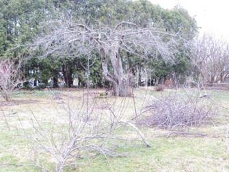 76pommier2014 - Quand tailler arbre fruitier ...
