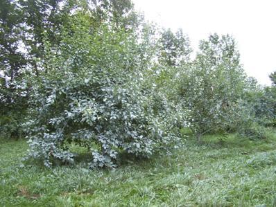 Kaolin 2009 - Taille arbre fruitier ...